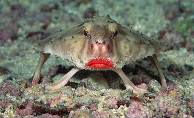 Красногубая рыба-ласточка