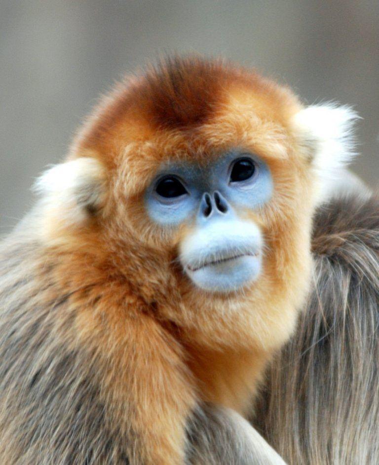 экзотическая курносая обезьяна