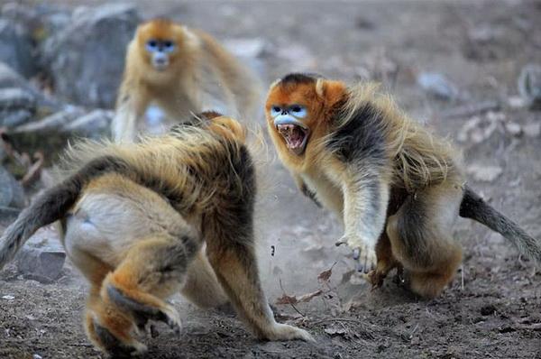 курносая обезьяна